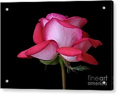 Full Blown Beauty Acrylic Print