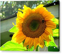 Fully Bloomed Acrylic Print by Amy Bradley