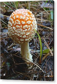 Fungus Fly Amanita Acrylic Print