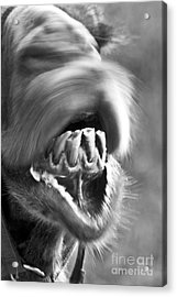 Funny Camel Acrylic Print by Heiko Koehrer-Wagner