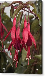 Fuschia Flower Acrylic Print by George Grall