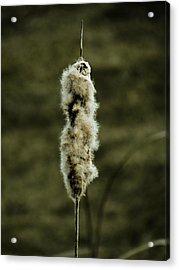 Fuzzy Cattail  Acrylic Print by Beth Akerman