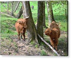 Fuzzy Cows Acrylic Print by Bob Jackson