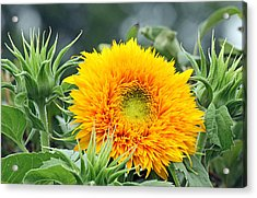 Fuzzy Sunflower Acrylic Print by Becky Lodes