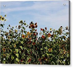 Acrylic Print featuring the photograph Gaillardia On Parade by Penny Hunt