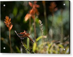 Acrylic Print featuring the photograph Garden Orange  by Priya Ghose