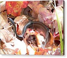 Garter Snake Acrylic Print