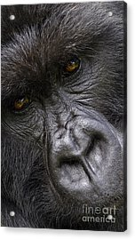 Acrylic Print featuring the photograph Garunda The Gorilla - Rwanda by Craig Lovell