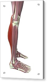 Gastrocnemius And Soleus Muscle Acrylic Print by MedicalRF.com