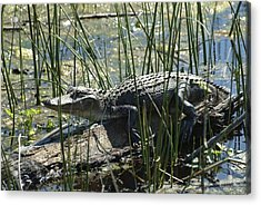 Gator Acrylic Print by Ralph Jones