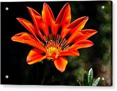Acrylic Print featuring the photograph Gazania Krebsiana Flower by Werner Lehmann