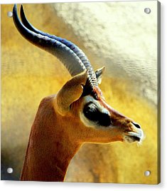 Gazelle Acrylic Print