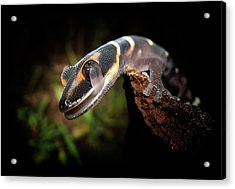 Gecko Acrylic Print by Kristian Bell