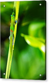Gecko On A Stick Acrylic Print