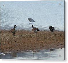Geese And Heron Acrylic Print