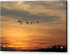 Geese In Sunset Acrylic Print