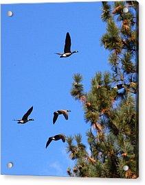 Geese In Tahoe Acrylic Print by Ernie Claudio