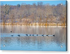 Geese In The Schuylkill River Acrylic Print by Bill Cannon