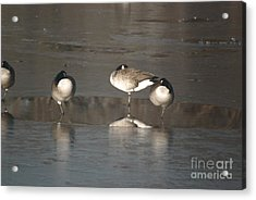 Acrylic Print featuring the photograph Geese On One Leg by Mark McReynolds