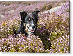 Gelert - My Dog Acrylic Print by Rory Trappe
