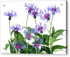 Acrylic Print featuring the photograph Gentle Blue Cornflowers by Aleksandr Volkov