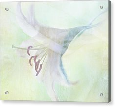 Gentle Lily Acrylic Print by Sharon Lapkin