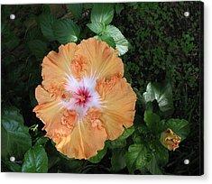 Gentle Orange Hibiscus Acrylic Print by Connie Fox