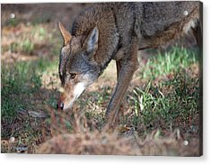 Gentle Wolf Acrylic Print by Karol Livote