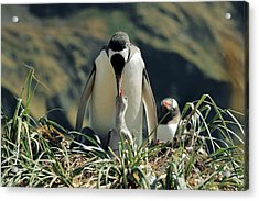 Gentoo Penguin Feeding Chick Acrylic Print by Charlotte Main