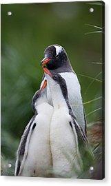 Gentoo Penguin Pygoscelis Papua Hungry Acrylic Print