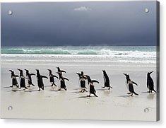 Gentoo Penguins (pygoscelis Papua) Acrylic Print