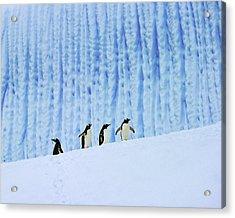 Gentoos On Ice Acrylic Print by Tony Beck
