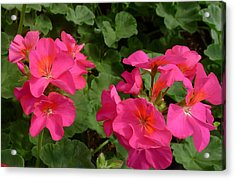 Geraniums Acrylic Print by Linda Pope
