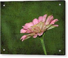 Acrylic Print featuring the photograph Gerber Daisy by Sami Martin