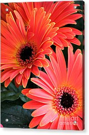 Gerbera Bliss Acrylic Print by Rory Sagner