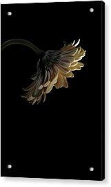 Gerbera Daisy Acrylic Print by Nathaniel Kolby