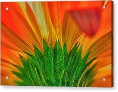 Gerbera Explosion Acrylic Print by Stelios Kleanthous