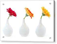Gerbera Flowers In Vases Acrylic Print by Elena Elisseeva
