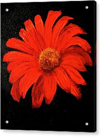 Gerbera Acrylic Print by Heather Matthews