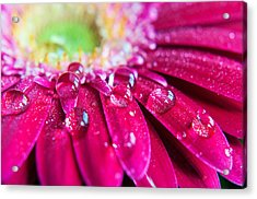 Gerbera Rain Droplets Acrylic Print by Michelle McMahon