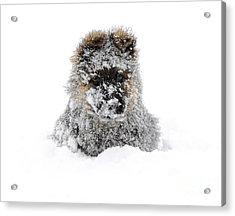 German Shepherd In The Snow Acrylic Print by Gualtiero Boffi