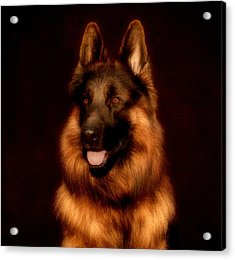 German Shepherd Portrait Acrylic Print