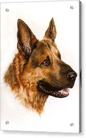 German Sheppard Acrylic Print by Patricia Ivy