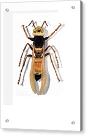 Giant Asian Hornet Acrylic Print by Inger Hutton