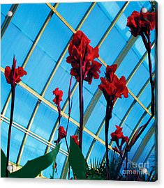 Giant Canna Lilly Acrylic Print by David Klaboe