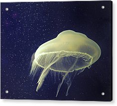 Giant Jelly Fish With Eggs That Look Like Stars Acrylic Print by Pete Foley