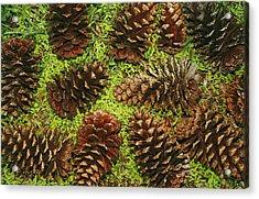 Giant Longleaf Pine Cones Acrylic Print by Raymond Gehman