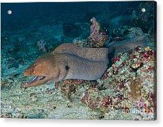 Giant Moray Eel Swimming Acrylic Print by Mathieu Meur
