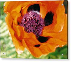 Giant Orange Poppy Acrylic Print