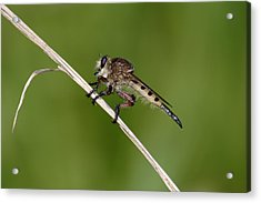 Acrylic Print featuring the photograph Giant Robber Fly - Promachus Hinei by Daniel Reed